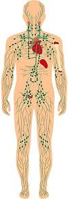 Exercise Increases Lymphatic Flow and Reduces Cellulite