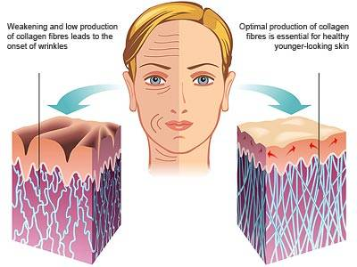 Optimal production of collagen fibres is essential for healthy, young-looking skin