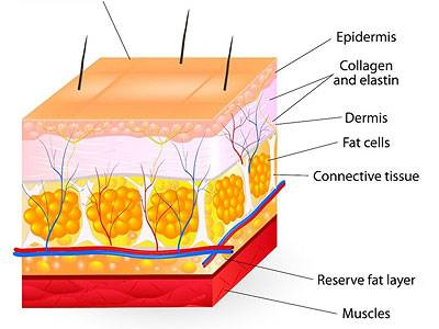 Normal Skin Structure