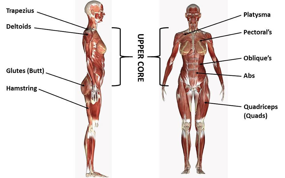 Anatomical Muscle Overview for Anti Cellulite Exercises